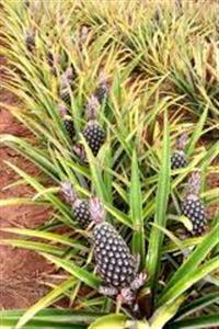 abacaxi direto da fazenda
