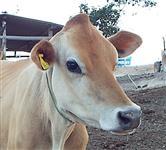 Vacas, novilhas e bezerros Jersey PO