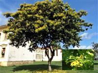 Pau Brasil ADULTO