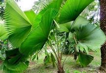 Palmeira Lícuala (Leque)