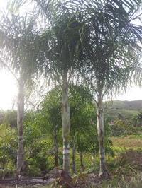 Palmeira Areca de Locuba ADULTA