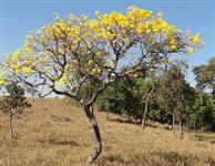 Ipê Amarelo 4 METROS