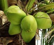Coco verde - 500ML garantido - Videira Com. e Transp