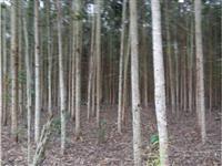 Vendo 1000 árvores eucalipto 8 anos e 500 árvores pinus 9 anos em Itaiópolis