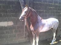 Cavalo à venda