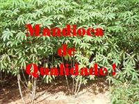 Mandioca Mansa