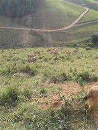 Vacas e novilhas e um touro