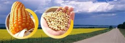 Milho Padrao - Disponivel Primavera do Leste - MT
