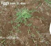 Mudas de grama Jiggs em bandejas