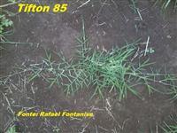Mudas de grama Tifton 85, em bandejas