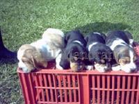Basset Hound filhotes agradáveis e carinhosos