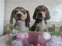 Beagle filhotes formidáveis e carinhosos