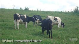 Vacas em lactação novilhas prenhas jersey jersolando e holandes 3/4 7/8