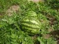 Plantio de melancia 100% orgânica