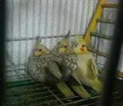 3 filhotes mansinhas de calopsitas