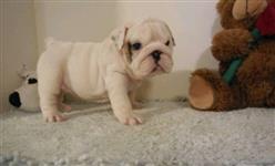 English Bulldog para adoção