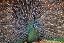 Casal de Pavão Azul - Arlequim - Ombros Negros - Branco - Verde Java