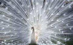 Vendo Casal de Pavão Branco - Casal de Pavões Branco