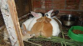 Filhotes de mini Lion e coelhos comuns
