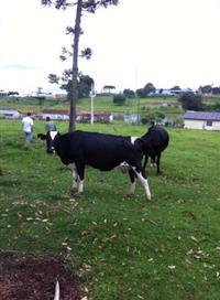 Vendo 12 vacas leiteiras. 07 vacas da raça holandesa e  05 vacas da raça jersey