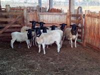 Lote de ovelhas dorper P.O. de linhagens sulafricanas
