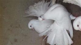 Pombas rabo de leque branca (casal)