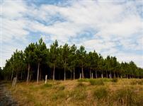 Fazenda em Bom Retiro com 140 mil Pinus Elliotti