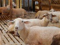 Vendo ovelhas matrizes prenhas e borregas