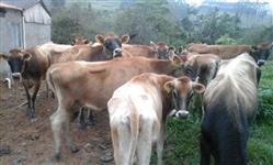 gado de leite com qualidade e preço imbativel? agora voçê vai encontrar!!