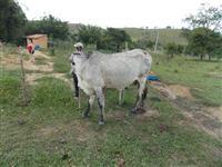 Cabritos mestiço da raca Boer