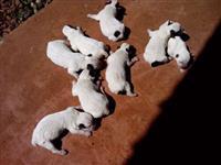 Vendo Australian Cattle dog boiadeiro
