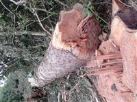 Toras de eucalipto vermelho