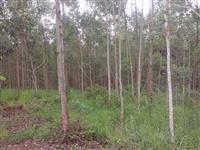 Vendo Floresta com 185.000 Pés de Eucaliptos