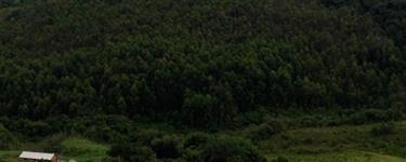 Vendo 100.000 pés de eucalipto