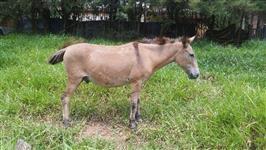 Burro Manso, ótimo para lida com gado