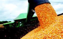 Fornecedor de milho