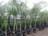 palmeiras imperiais aclimatadas p/ região de Jundiaí/Atibaia/Campinas