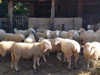 Venda de Ovelhas Adultas