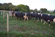 Gado leiteiro, vacas e novilhas em lactação