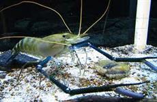 Pós larvas de Camarão da Malásia