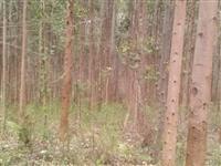 Venda Eucalipto em pé - 8 anos - Região Paraná
