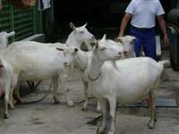 Vende-se Cabras Saanen
