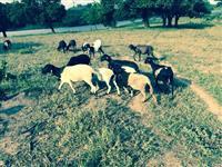 Vendo ovelhas Dorper, Marrans e burregos - vacinadas, criadas com ração especial