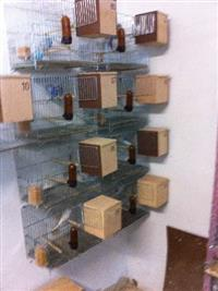 Vendo 8 casais de periquitos australianos com gaiolas