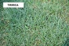 herbecidas sempra contra tiririca
