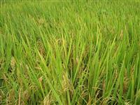 Arrendamento de terras para arroz irrigado
