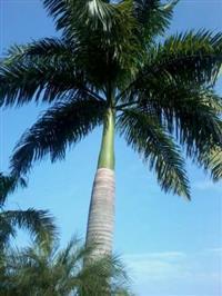 Palmeira Imperial, Fenix, Geriva, Pupunha, Assai, Cia forte, Juçara  e outros
