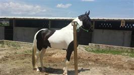 Cavalo campolina pampa de preto