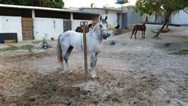 Cavalo mangalarga turdilho andamento picado.