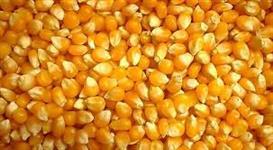 Temos milho em grãos - safra 2015- ótimo produto !